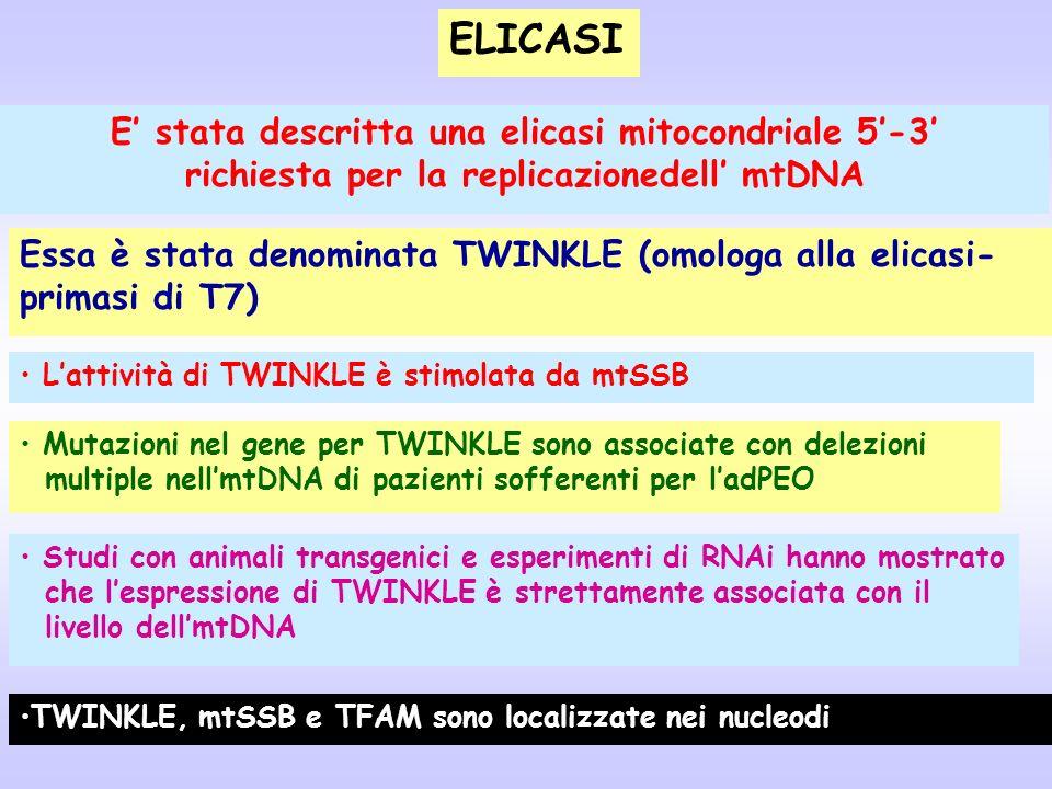 ELICASI E' stata descritta una elicasi mitocondriale 5'-3'