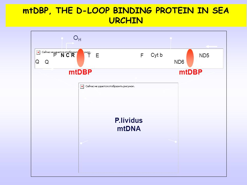 mtDBP, THE D-LOOP BINDING PROTEIN IN SEA URCHIN