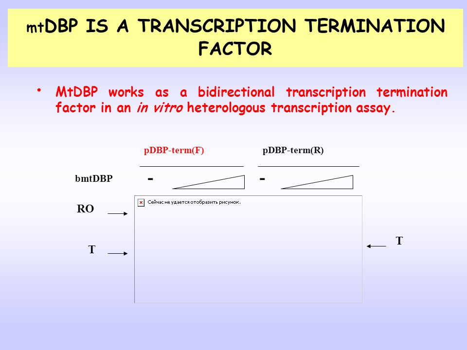 mtDBP IS A TRANSCRIPTION TERMINATION FACTOR