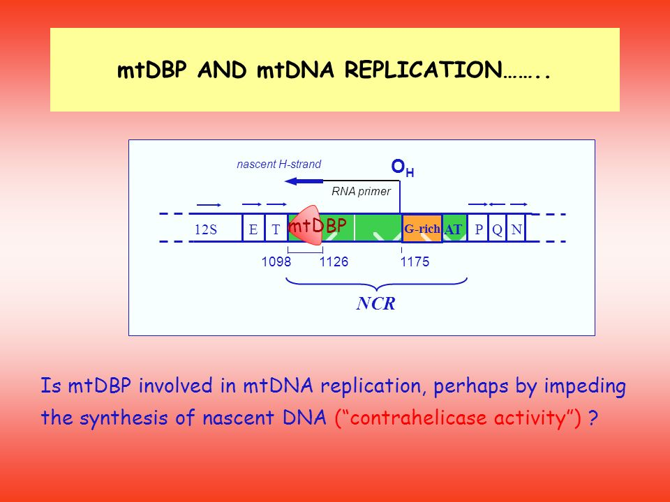 mtDBP AND mtDNA REPLICATION……..