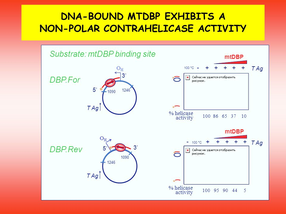 DNA-BOUND MTDBP EXHIBITS A NON-POLAR CONTRAHELICASE ACTIVITY