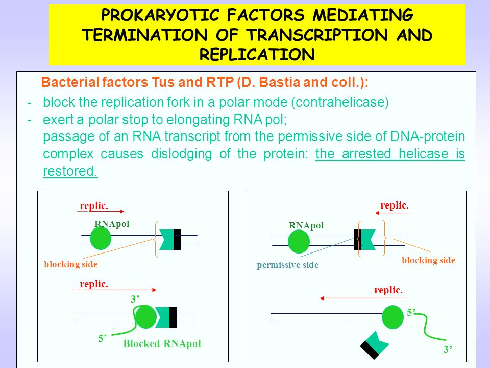 PROKARYOTIC FACTORS MEDIATING TERMINATION OF TRANSCRIPTION AND REPLICATION