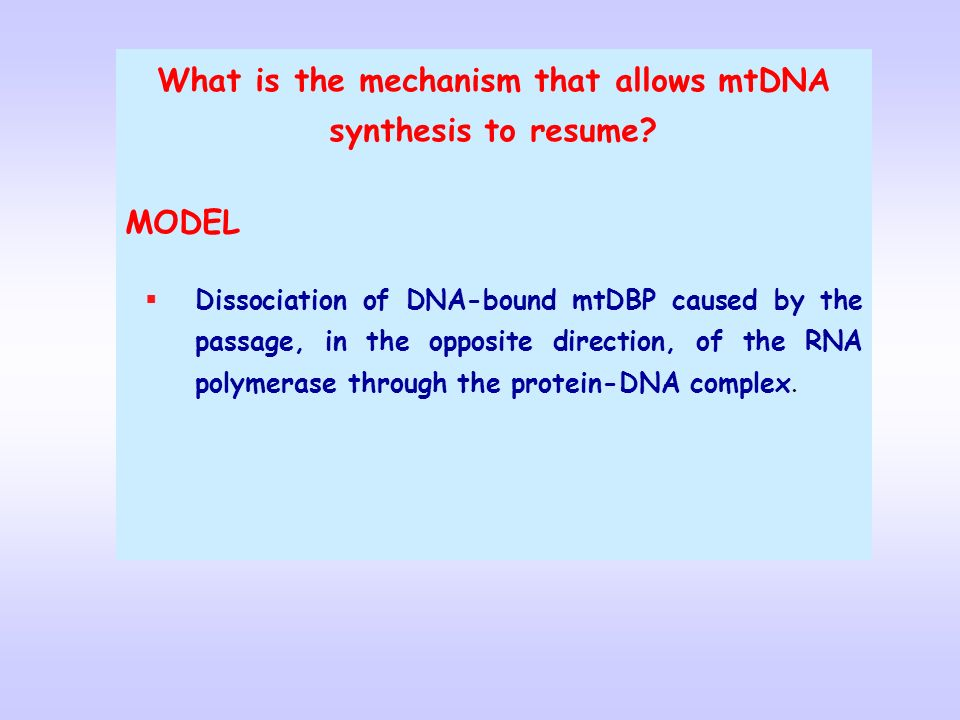 What is the mechanism that allows mtDNA synthesis to resume