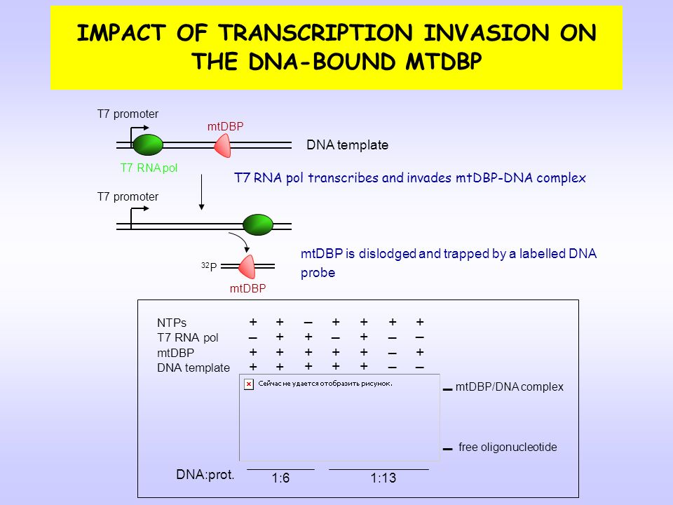 IMPACT OF TRANSCRIPTION INVASION ON THE DNA-BOUND MTDBP