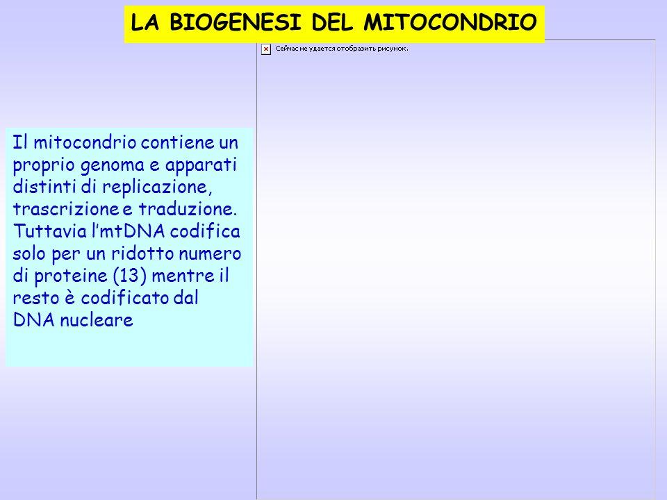 LA BIOGENESI DEL MITOCONDRIO