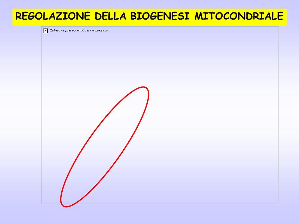 REGOLAZIONE DELLA BIOGENESI MITOCONDRIALE