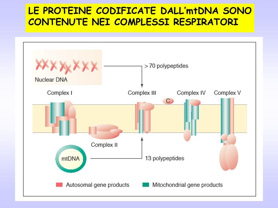 LE PROTEINE CODIFICATE DALL'mtDNA SONO