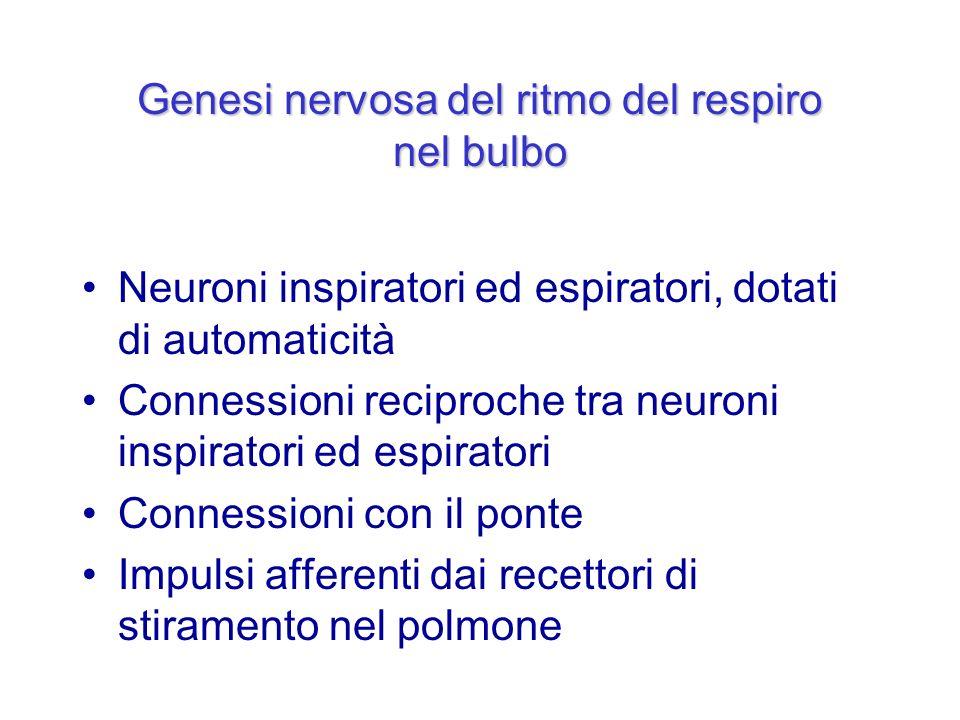 Genesi nervosa del ritmo del respiro nel bulbo