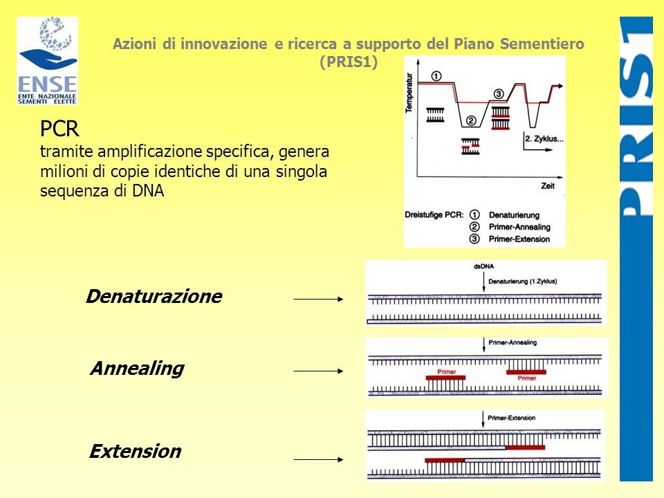 PCR Denaturazione Annealing Extension