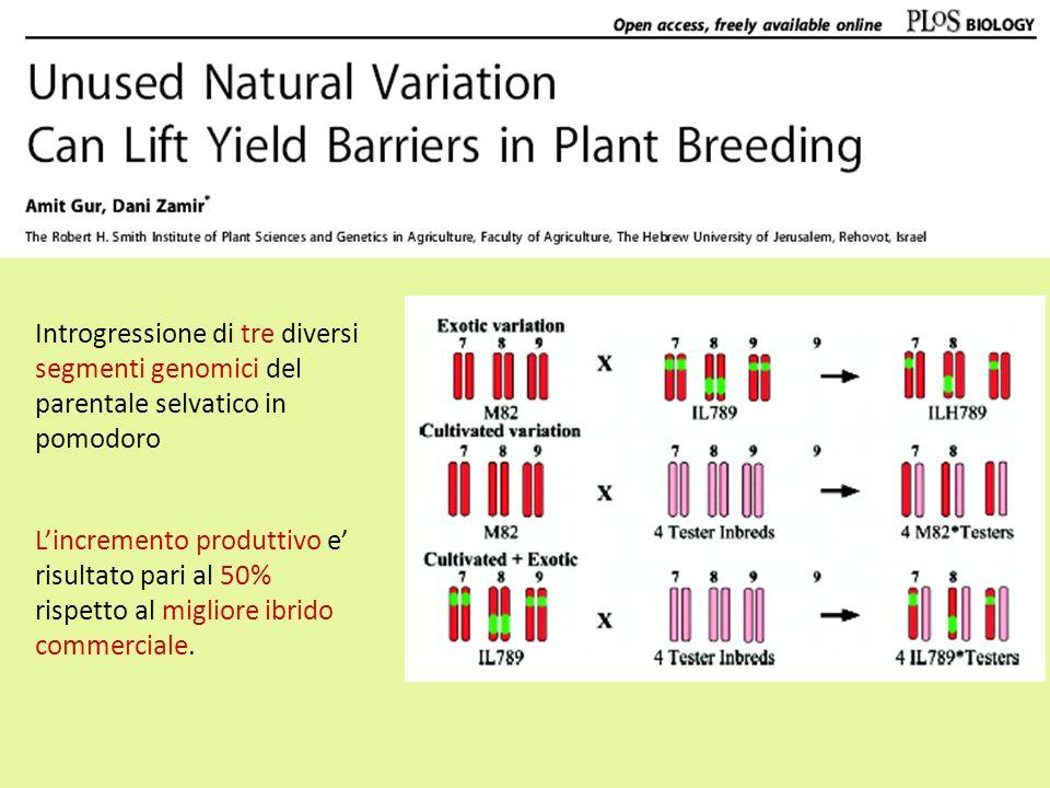 Introgressione di tre diversi segmenti genomici del parentale selvatico in pomodoro