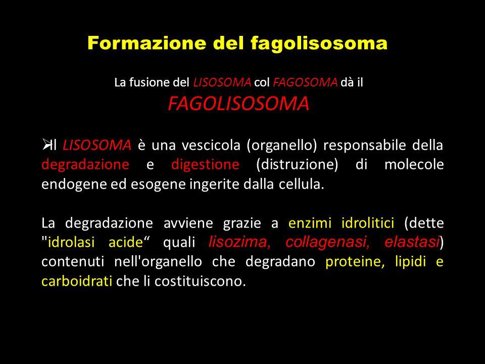 La fusione del LISOSOMA col FAGOSOMA dà il FAGOLISOSOMA