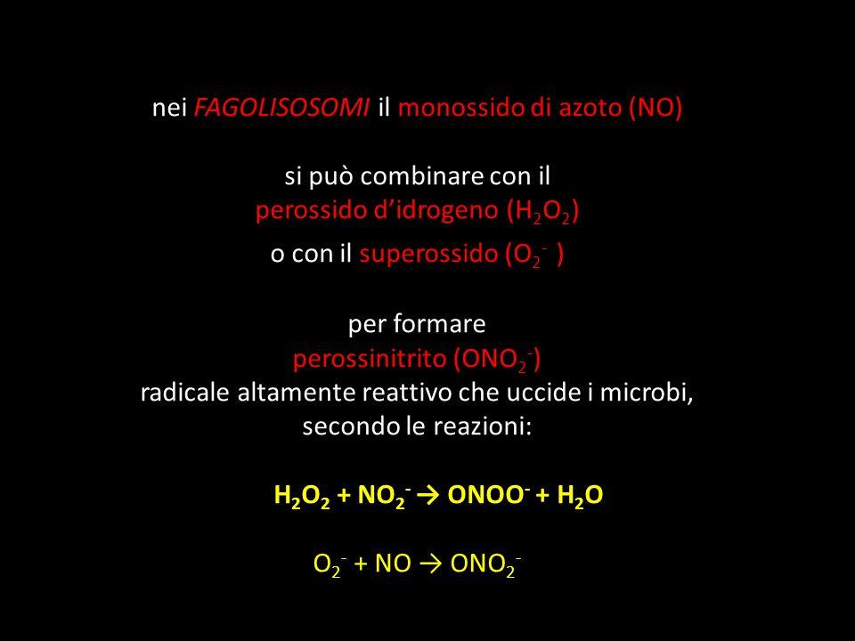 nei FAGOLISOSOMI il monossido di azoto (NO) si può combinare con il