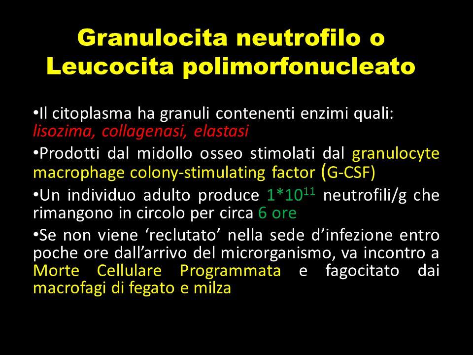Granulocita neutrofilo o Leucocita polimorfonucleato