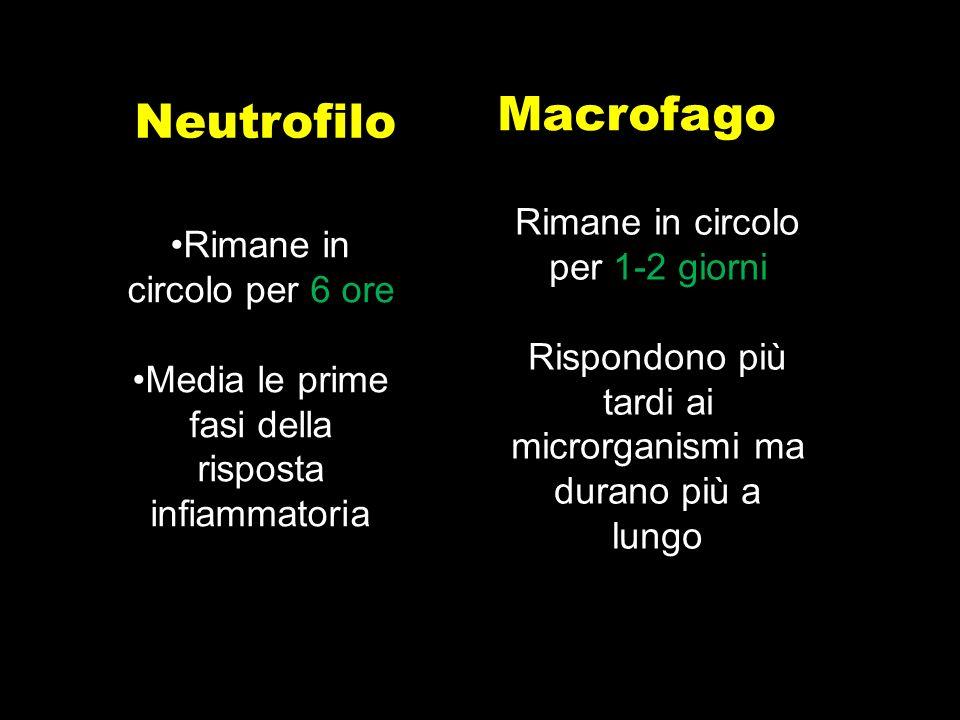Macrofago Neutrofilo Rimane in circolo per 1-2 giorni