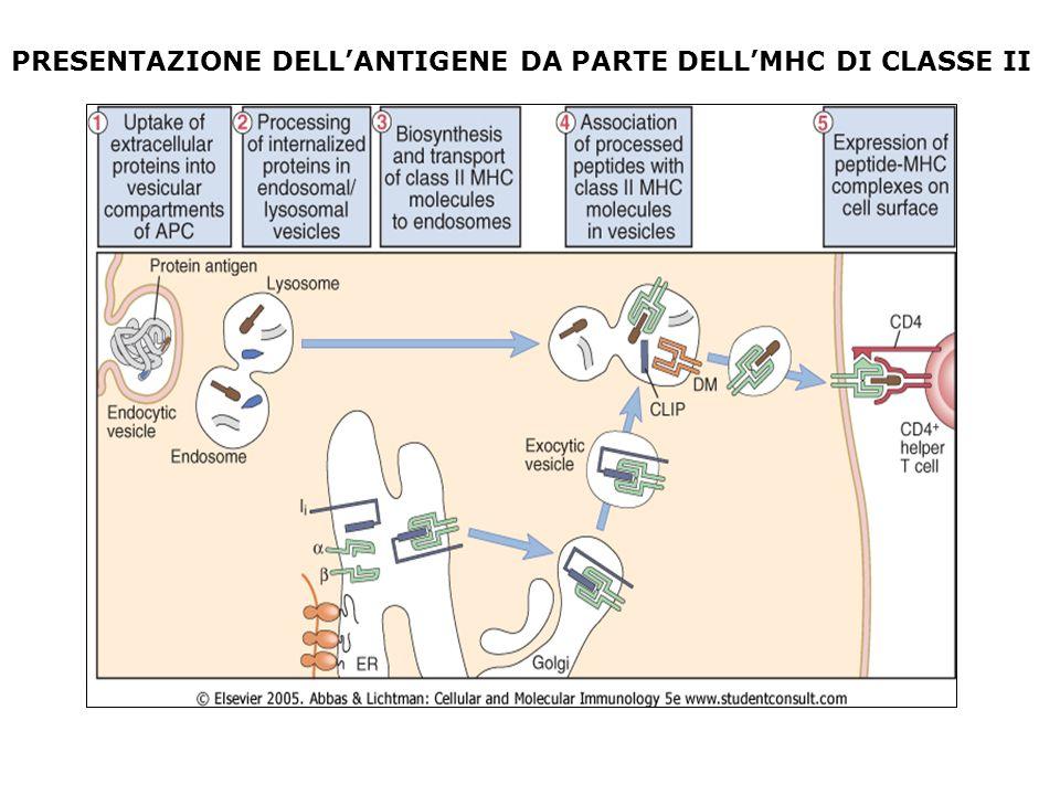 PRESENTAZIONE DELL'ANTIGENE DA PARTE DELL'MHC DI CLASSE II