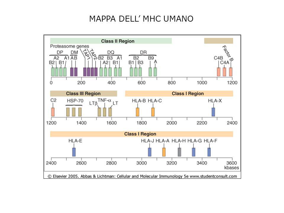 MAPPA DELL' MHC UMANO