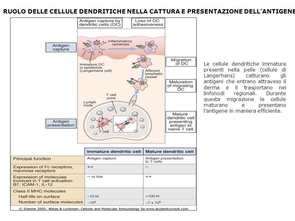 RUOLO DELLE CELLULE DENDRITICHE NELLA CATTURA E PRESENTAZIONE DELL'ANTIGENE