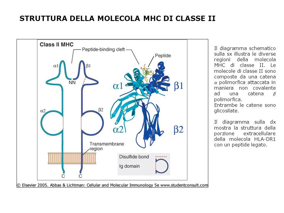 STRUTTURA DELLA MOLECOLA MHC DI CLASSE II