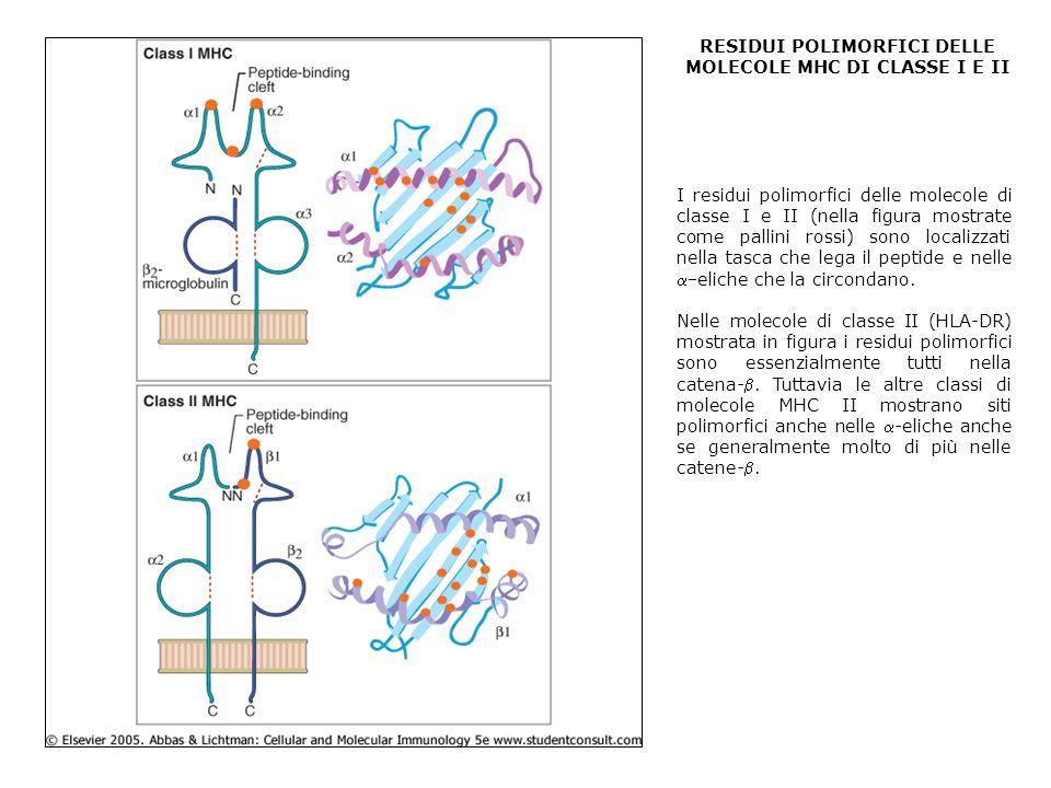RESIDUI POLIMORFICI DELLE MOLECOLE MHC DI CLASSE I E II