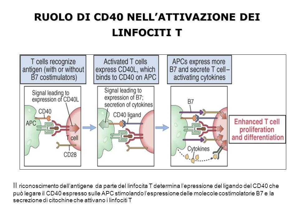 RUOLO DI CD40 NELL'ATTIVAZIONE DEI LINFOCITI T