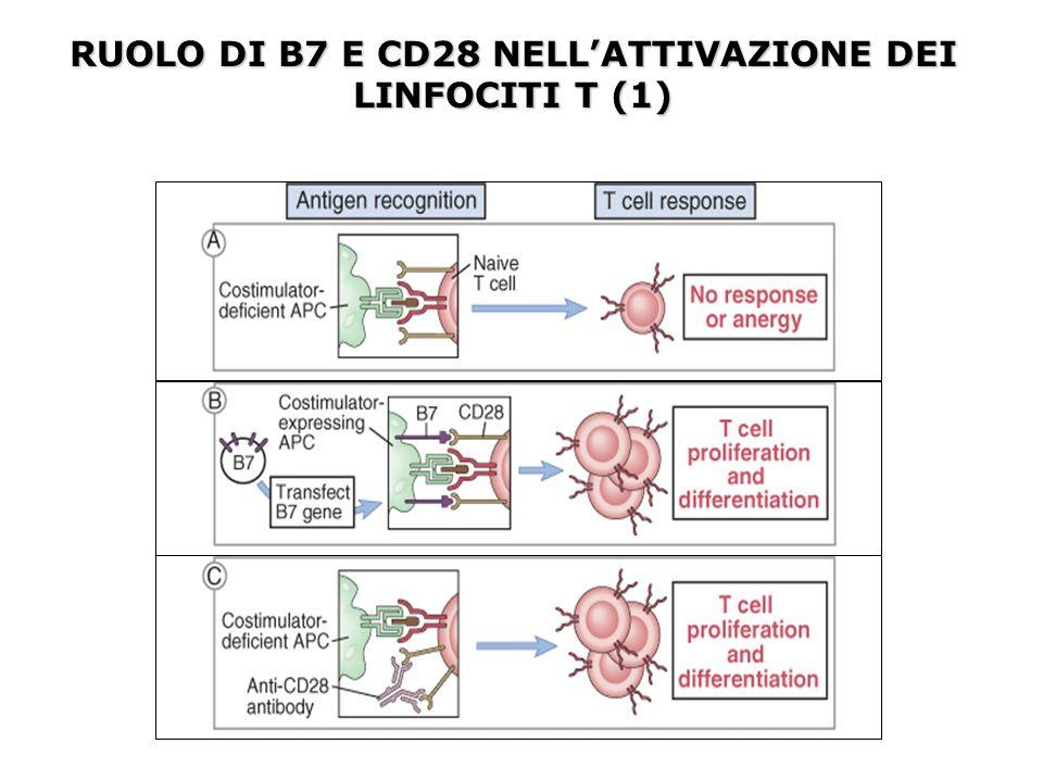 RUOLO DI B7 E CD28 NELL'ATTIVAZIONE DEI LINFOCITI T (1)