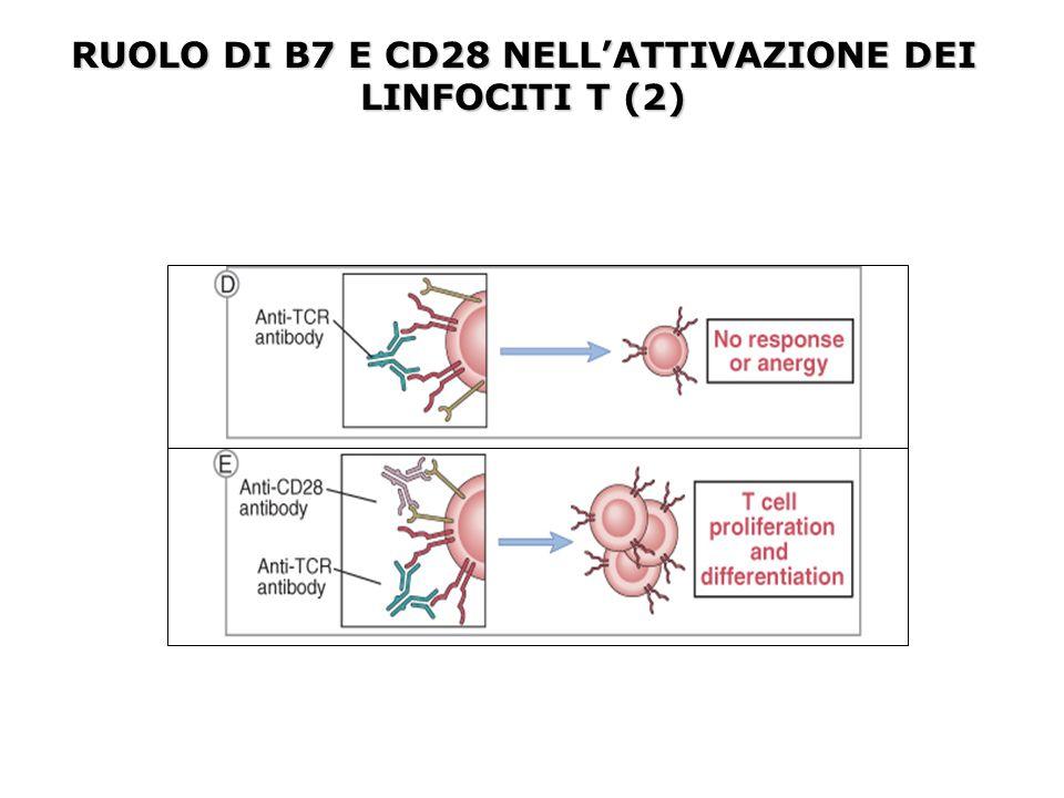 RUOLO DI B7 E CD28 NELL'ATTIVAZIONE DEI LINFOCITI T (2)