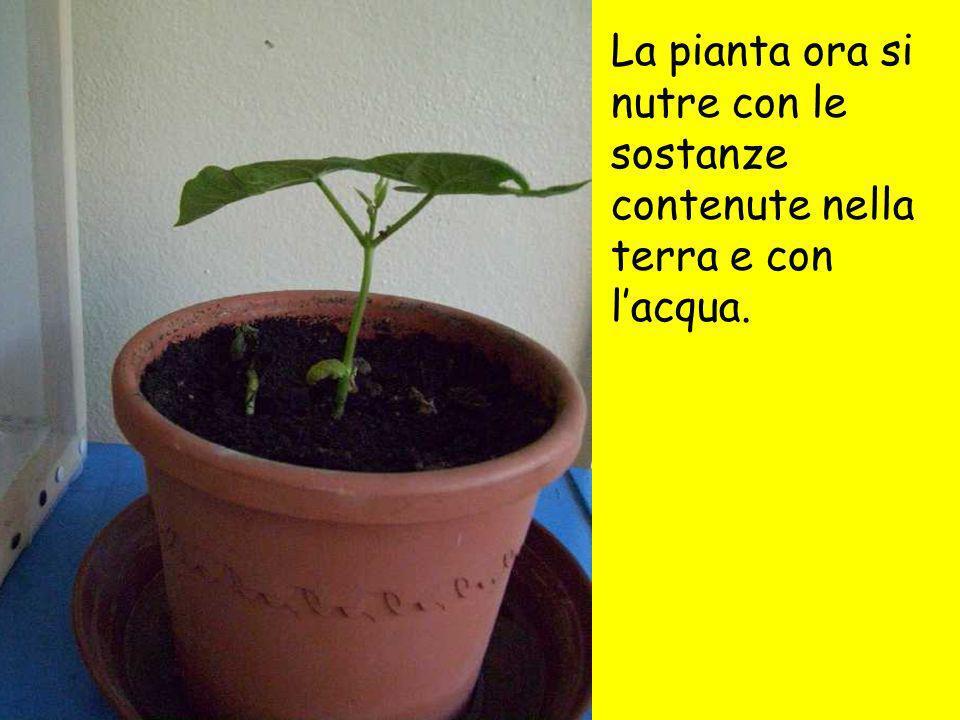 La pianta ora si nutre con le sostanze contenute nella terra e con l'acqua.