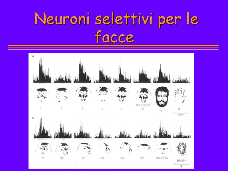 Neuroni selettivi per le facce