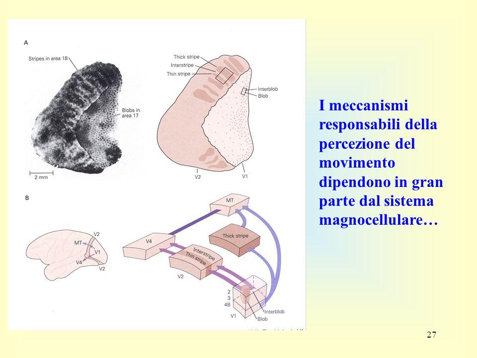 I meccanismi responsabili della percezione del movimento dipendono in gran parte dal sistema magnocellulare…