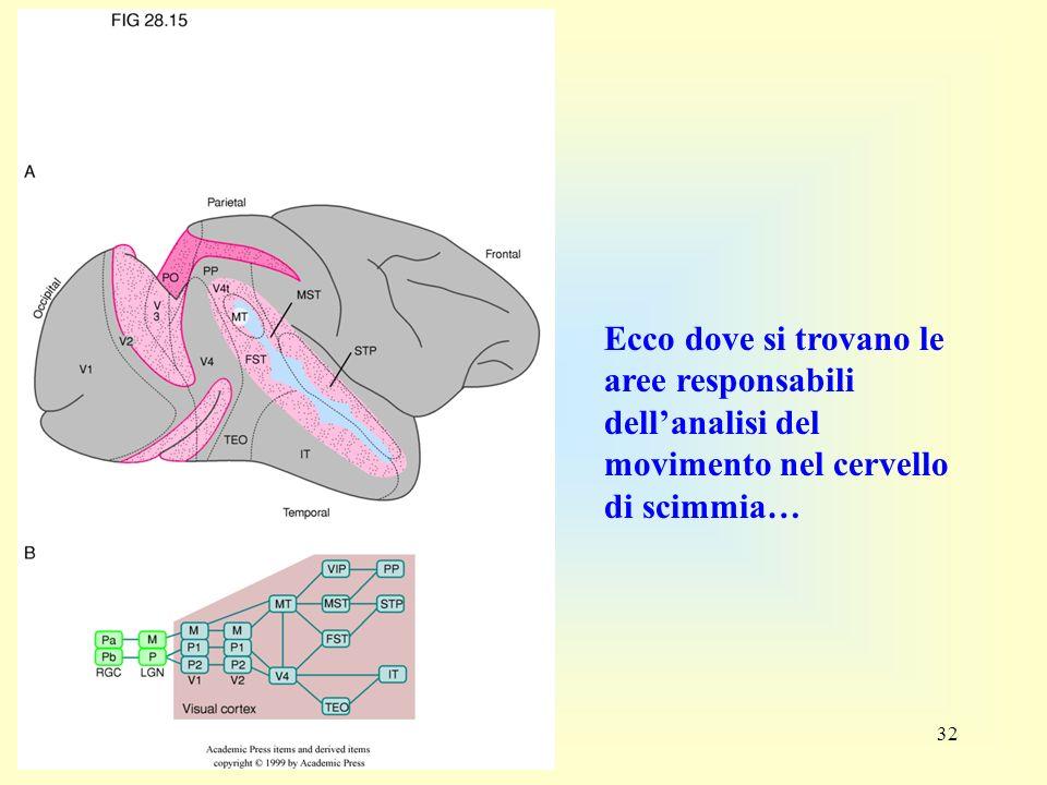 Ecco dove si trovano le aree responsabili dell'analisi del movimento nel cervello di scimmia…