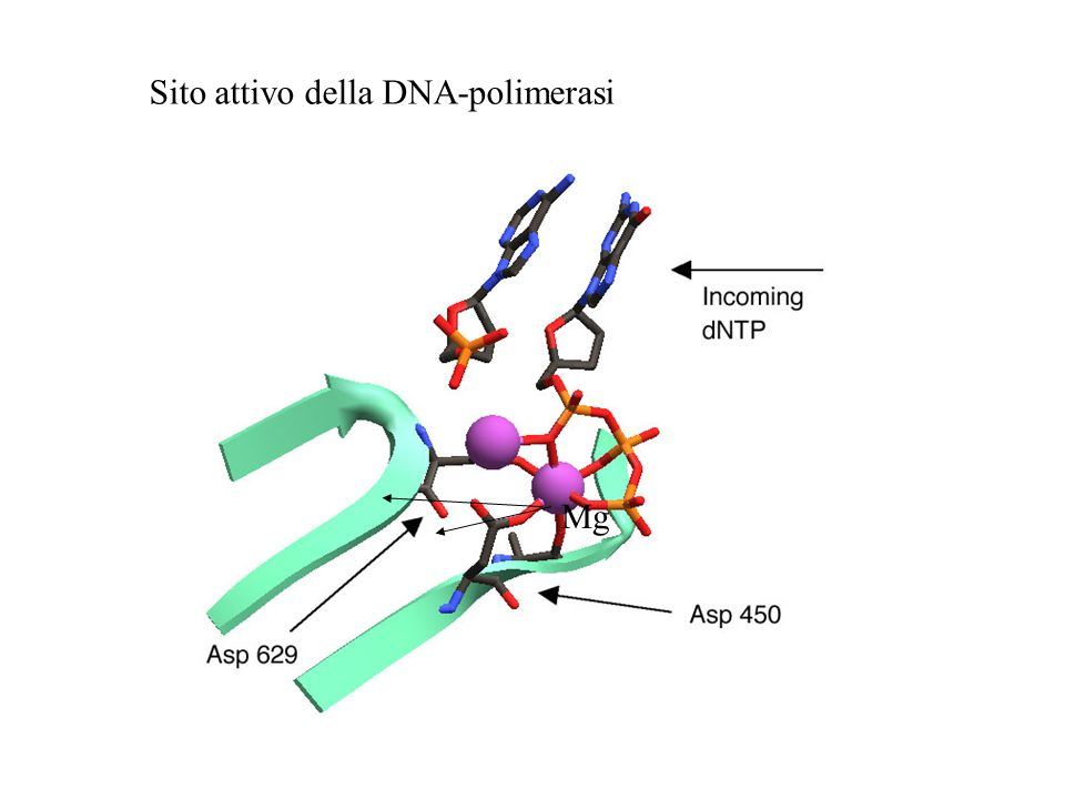 Sito attivo della DNA-polimerasi