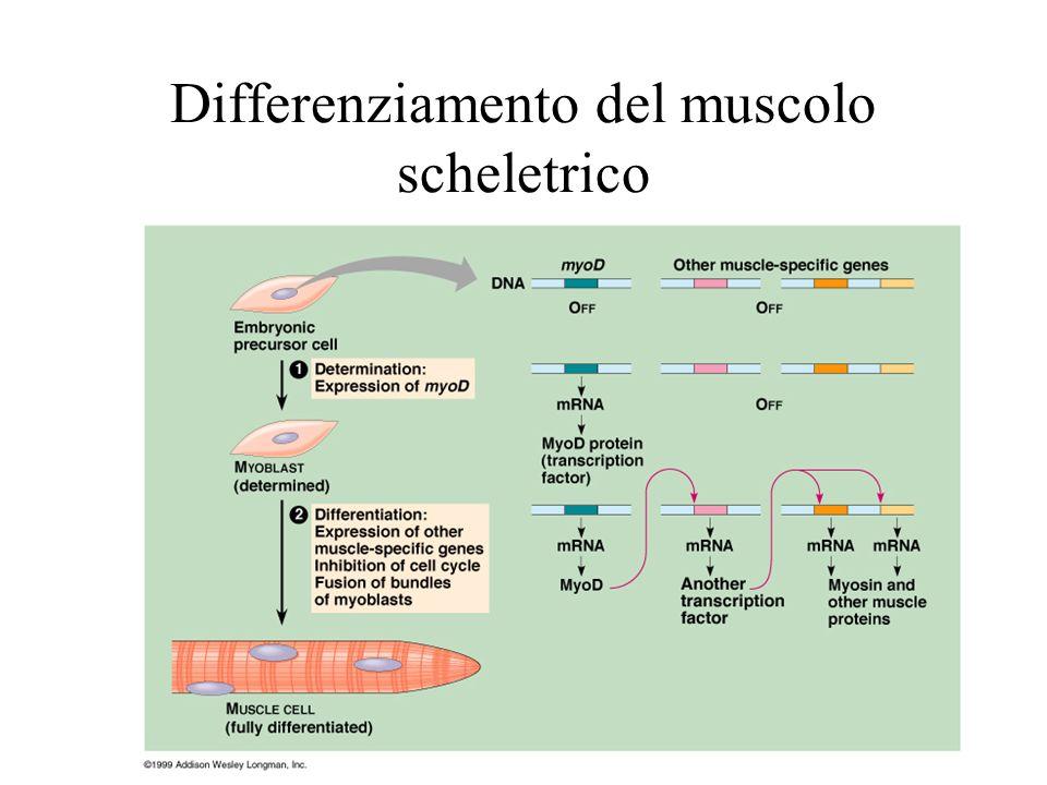 Differenziamento del muscolo scheletrico