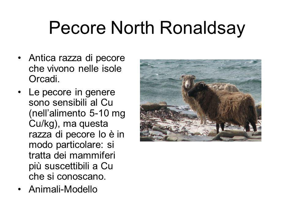 Pecore North Ronaldsay