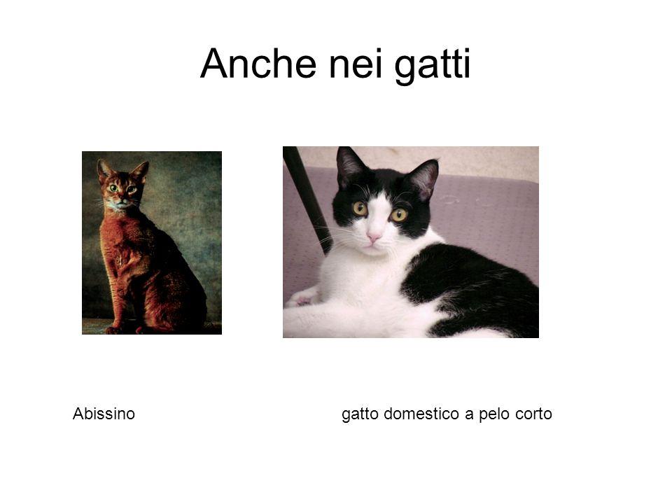Anche nei gatti Abissino gatto domestico a pelo corto