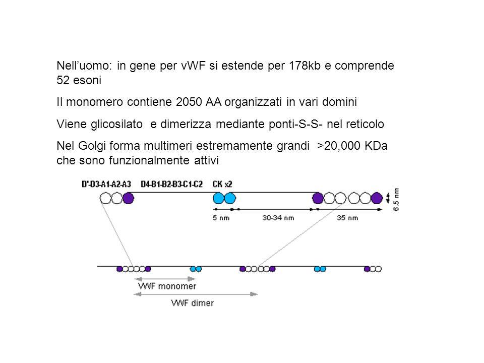 Nell'uomo: in gene per vWF si estende per 178kb e comprende 52 esoni