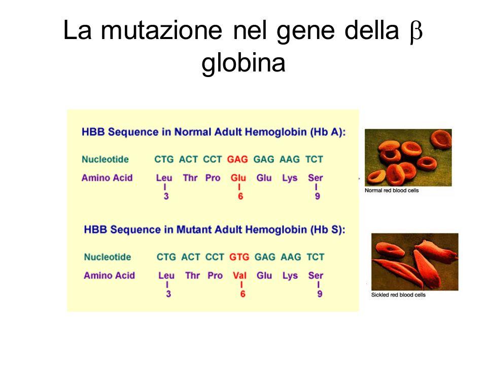 La mutazione nel gene della b globina