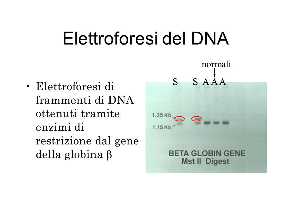 Elettroforesi del DNA normali. S S A A A.