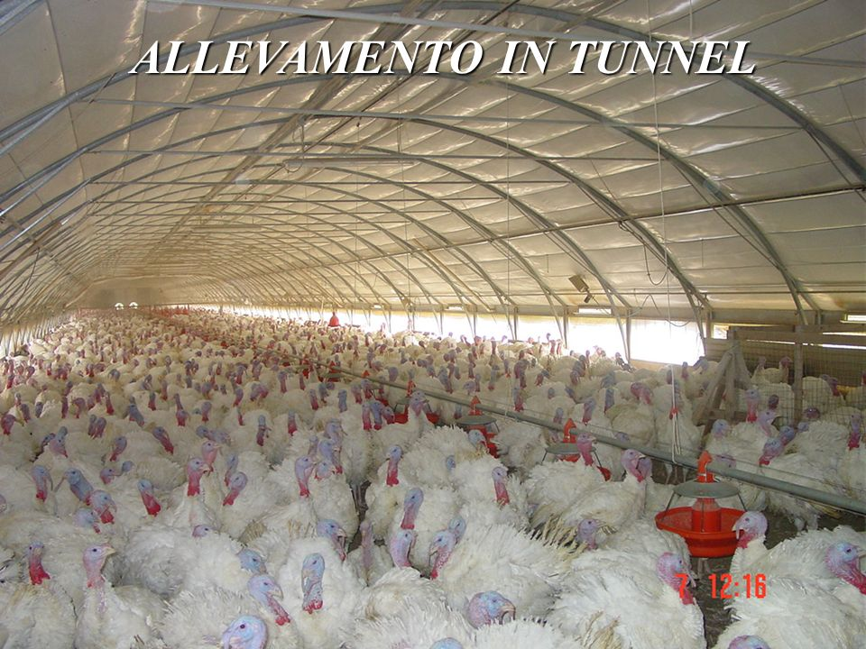ALLEVAMENTO IN TUNNEL