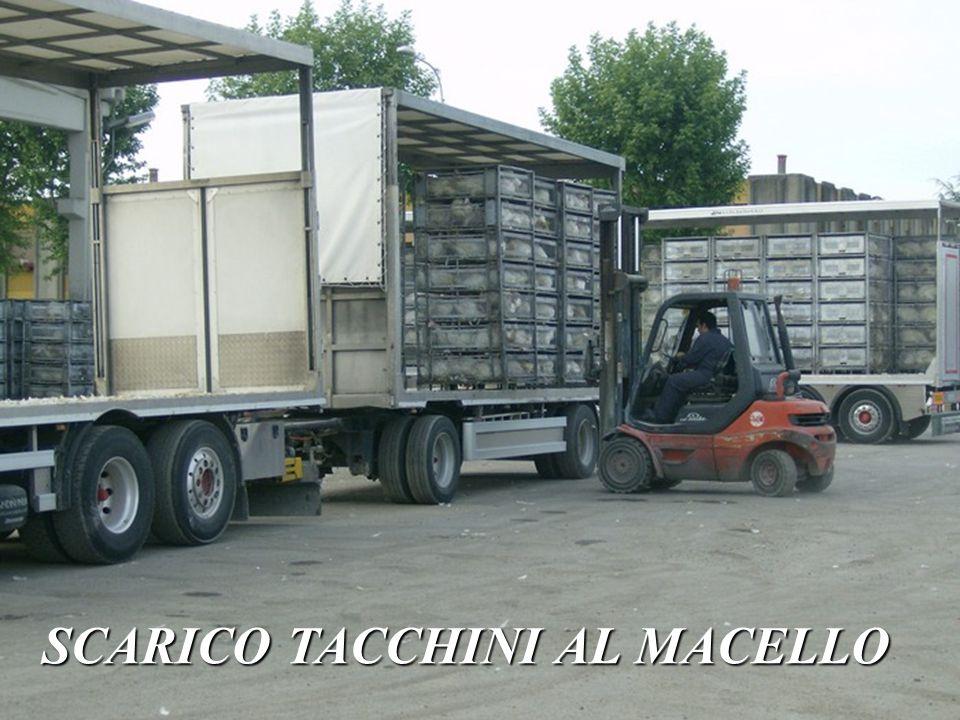 SCARICO TACCHINI AL MACELLO