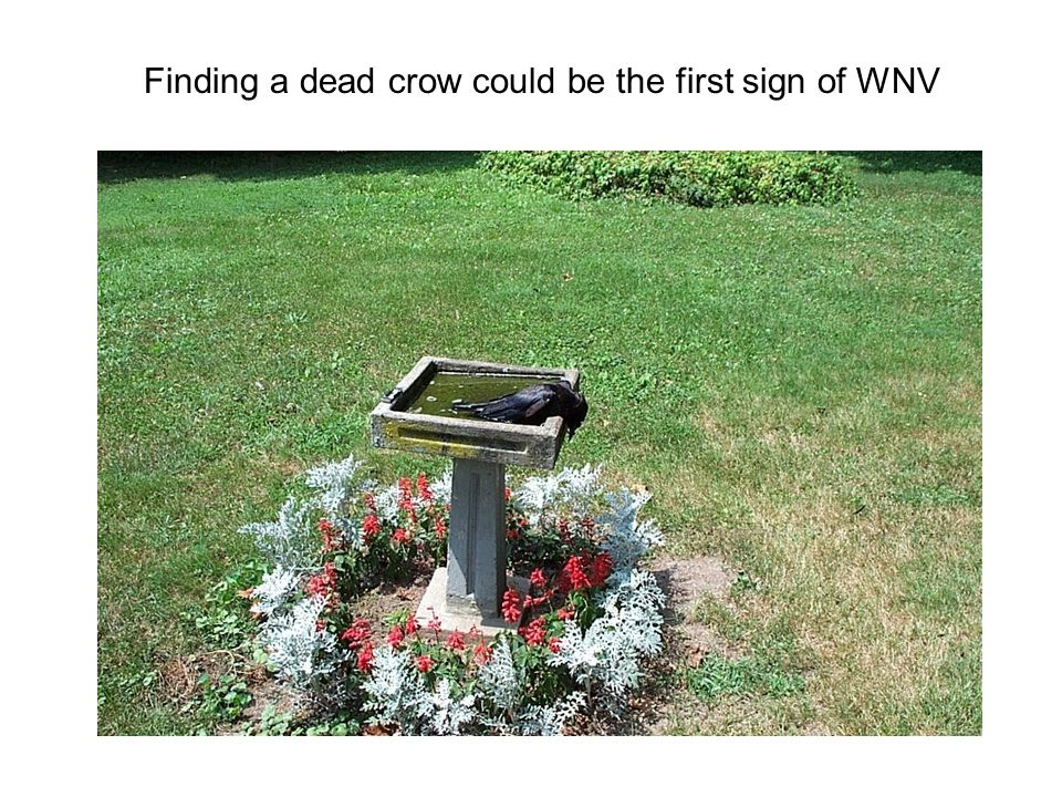 Finding a dead crow could be the first sign of WNV