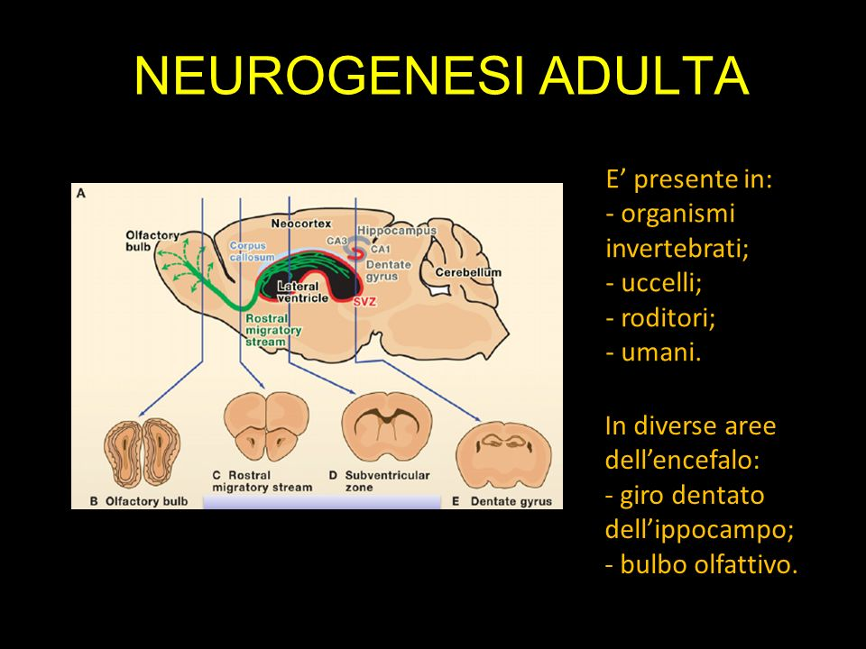 NEUROGENESI ADULTA E' presente in: - organismi invertebrati;
