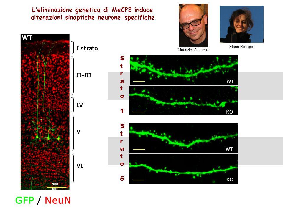 L'eliminazione genetica di MeCP2 induce alterazioni sinaptiche neurone-specifiche