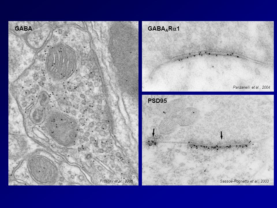 GABA GABAARa1 PSD95 Panzanelli et al., 2004 Fritschy et al., 2006