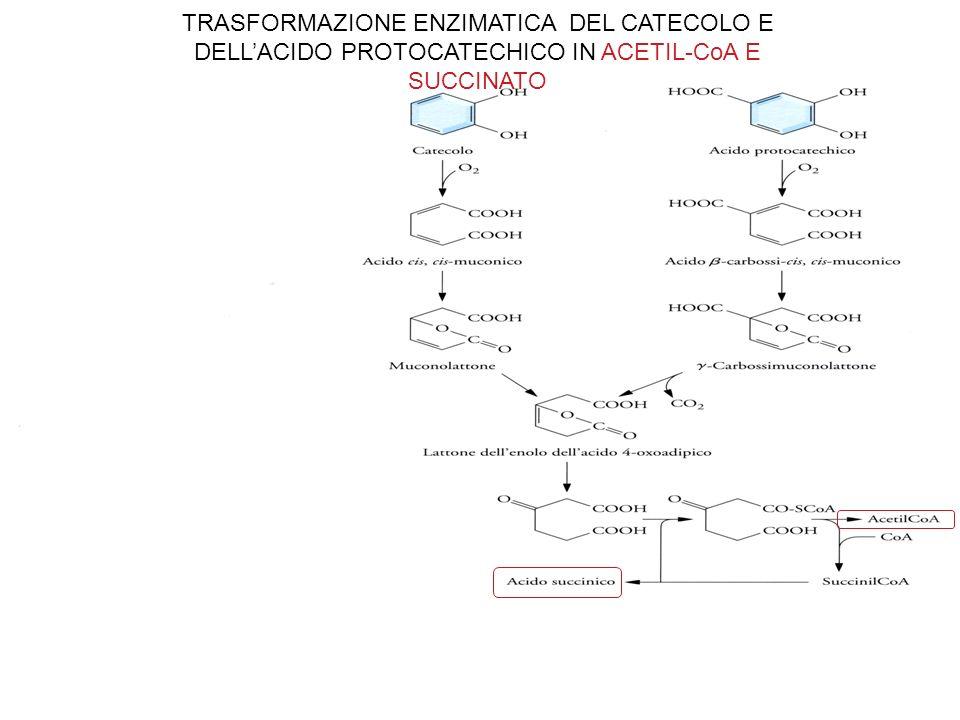 TRASFORMAZIONE ENZIMATICA DEL CATECOLO E