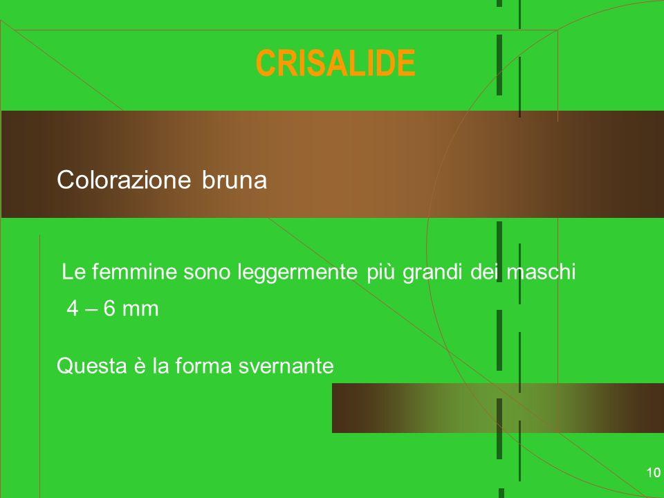 CRISALIDE Colorazione bruna