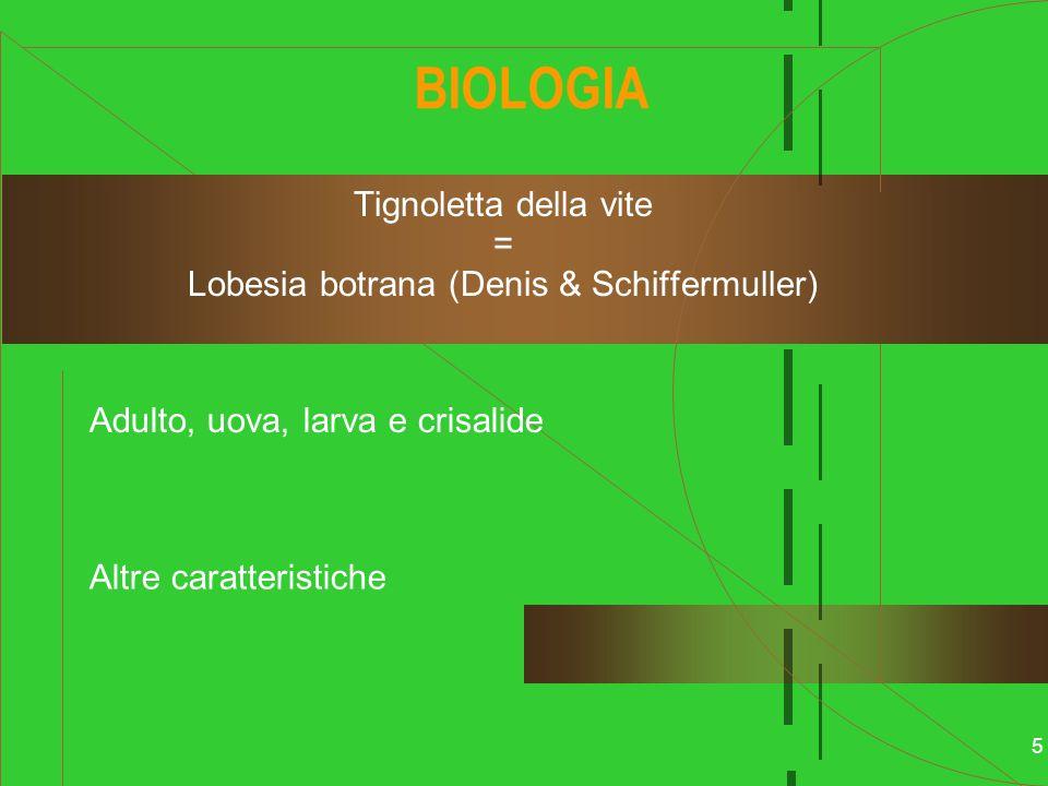Tignoletta della vite = Lobesia botrana (Denis & Schiffermuller)