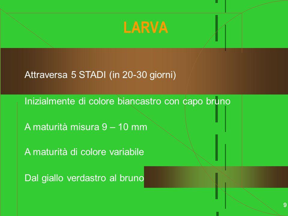LARVA Attraversa 5 STADI (in 20-30 giorni)