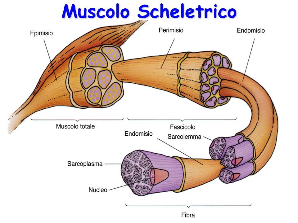 Muscolo Scheletrico 10