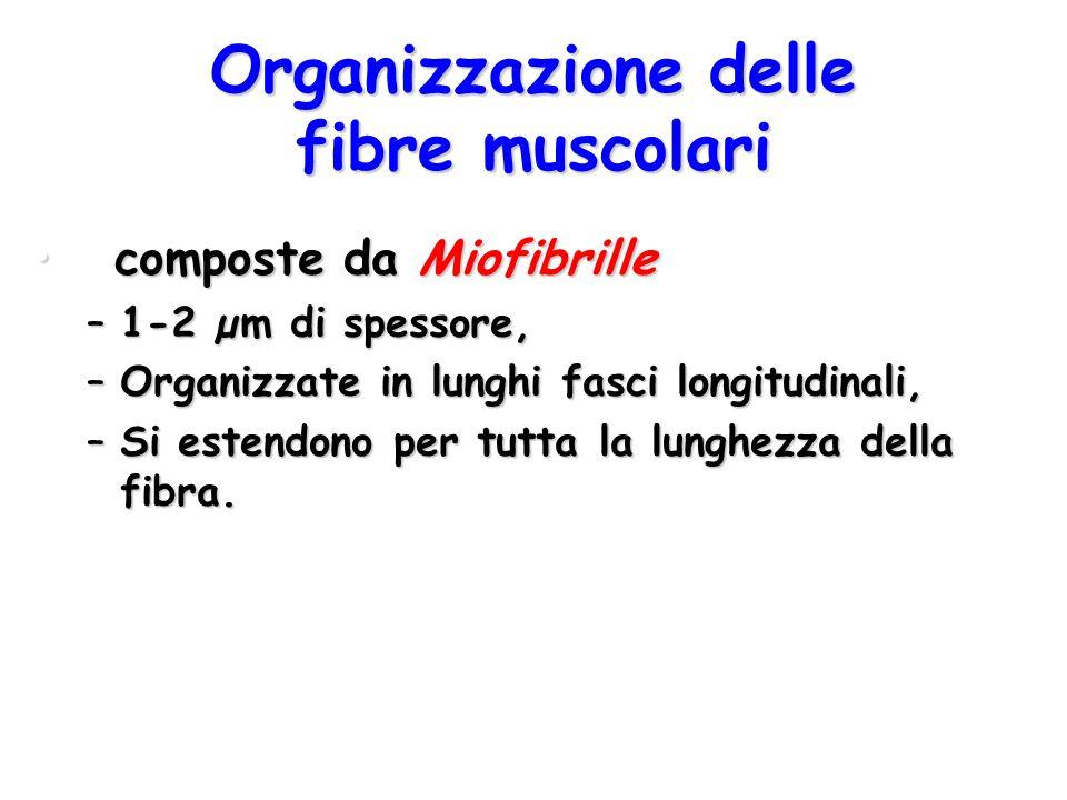 Organizzazione delle fibre muscolari