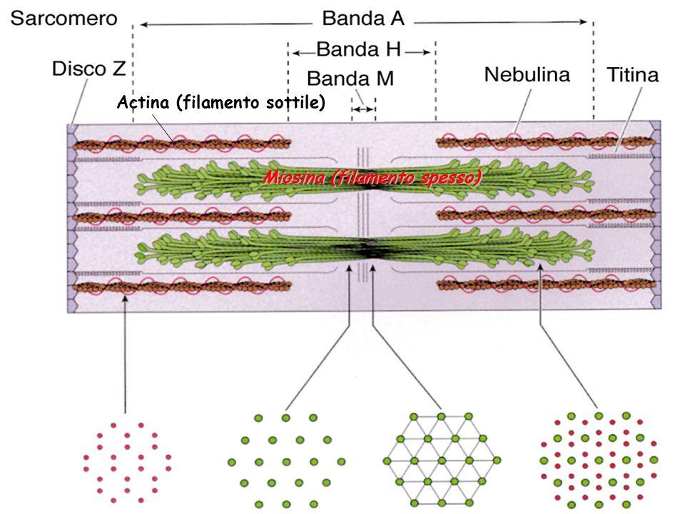 Actina (filamento sottile)